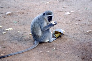 Monkey in South Africa