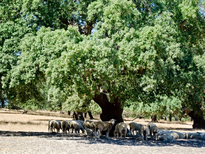 Sheep in the grounds of Monte Do Geistal Rural tourism
