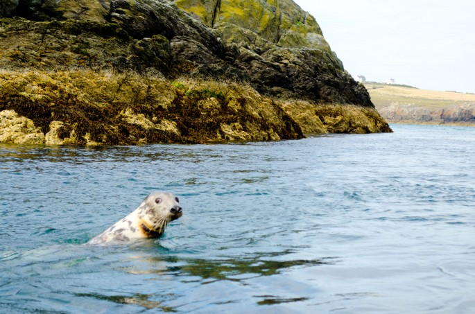 Seal in Anglesey