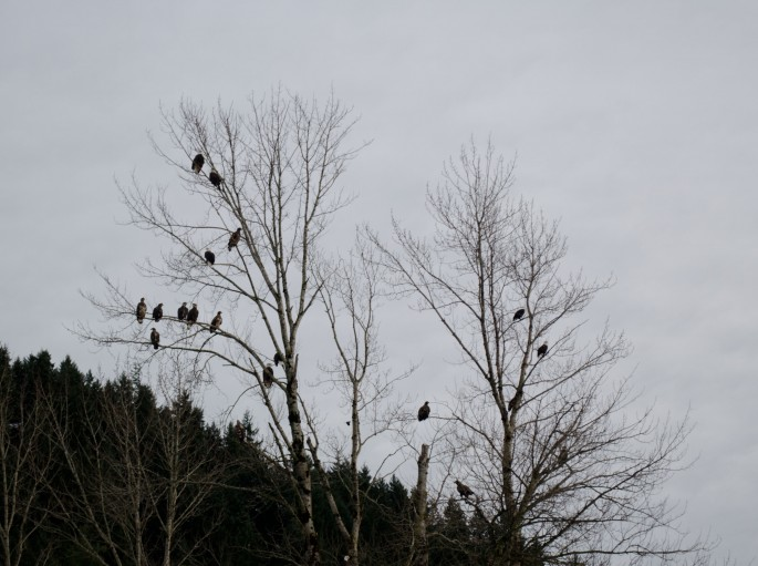 With this many eagles in a single tree it's easy to see why this is a perfect place to view these birds