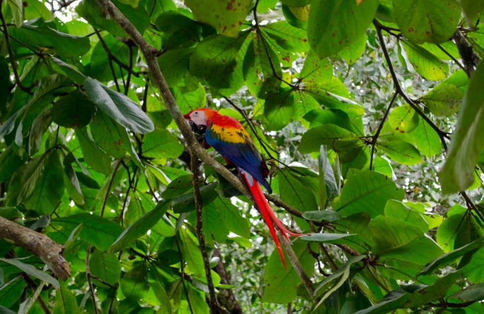 Scarlet macaw at Blue Osa