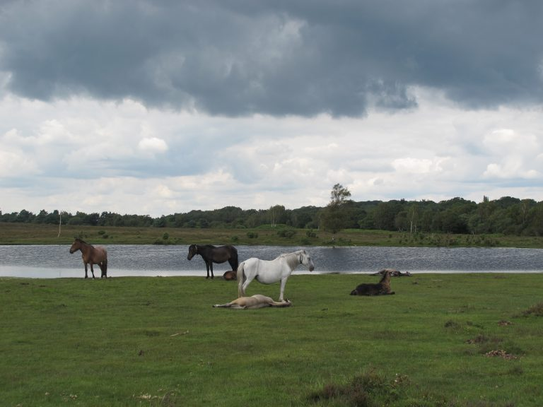 New Forest Ponies relax by a lake