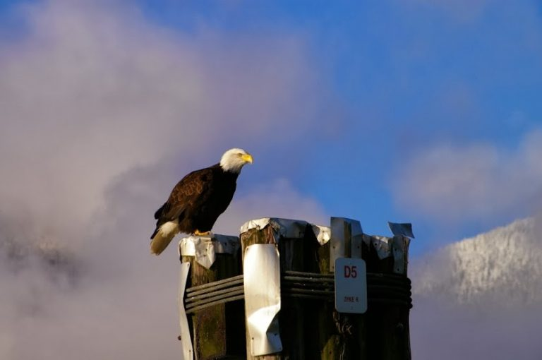 Eagle at Harrison River