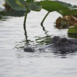 Everglades alligator tour